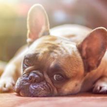 epilepsie-bij-honden