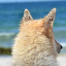 leishmania-hond