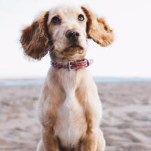 hond-africhten