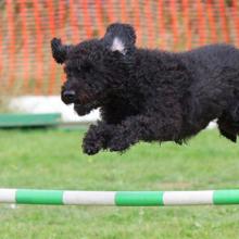 agility-hondensport