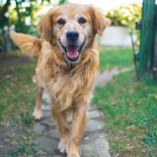 Elleboogdysplasie-bij-honden