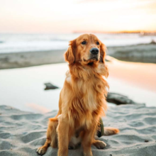 patellaluxatie-bij-honden